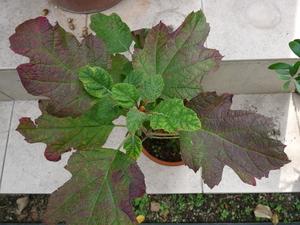 カシワバアジサイ鉢植え 秋の画像.JPG
